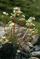 Image of Saxifraga paniculata ssp. paniculata by Marijn van den Brink : - click to view the full size picture