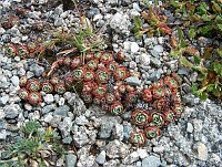 Image of Saxifraga paniculata ssp. paniculata by Răzvan Chişu : - click to view the full size picture
