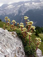 Image of Saxifraga paniculata ssp. paniculata by Paul Kennett : - click to view the full size picture