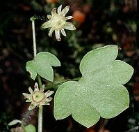 Image of Saxifraga paradoxa by Dr. Herbert Wagner : - click to view the full size picture