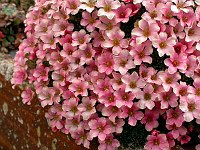 Image of Saxifraga 'Peach Melba' by Paul Kennett : - click to view the full size picture
