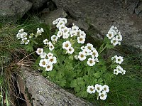 Image of Saxifraga pedemontana ssp. cymosa by Răzvan Chişu : - click to view the full size picture