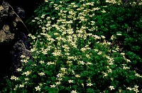 Image of Saxifraga praetermissa by Paul Kennett : - click to view the full size picture