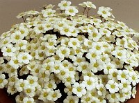 Image of Saxifraga burseriana 'Princess' by Mike Ireland : - click to view the full size picture