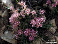 Image of Saxifraga retusa ssp. augustana by Paul Kennett : - click to view the full size picture