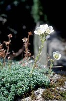 Image of Saxifraga x rosinae 'Rosina Sündermann' by Paul Kennett : - click to view the full size picture