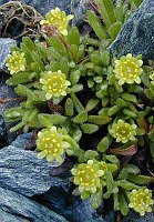 Image of Saxifraga seguieri by Tony Goode : - click to view the full size picture