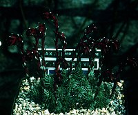 Image of Saxifraga sempervivum by Tim Roberts : - click to view the full size picture