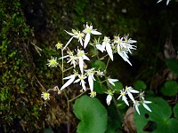Image of Saxifraga stolonifera by Guohua Xia : - click to view the full size picture