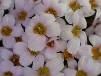 Image of Saxifraga [Snow White Group] 'Tromsø' by Paul Kennett : - click to view the full size picture