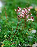Image of Saxifraga umbrosa by Dr. Herbert Wagner : - click to view the full size picture