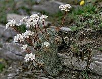 Image of Saxifraga valdensis by Arie Dekker : - click to view the full size picture