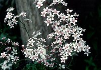Image of Saxifraga 'Winifred Bevington' by Paul Kennett : - click to view the full size picture