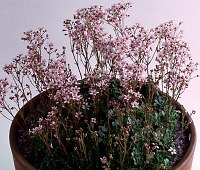 Image of Saxifraga 'Winifred Bevington' by Mike Ireland : - click to view the full size picture